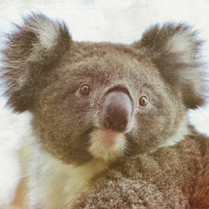 australian-koala-emiliano