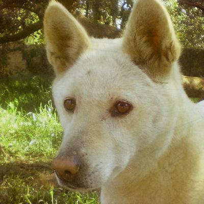 australian-dingo-oriana