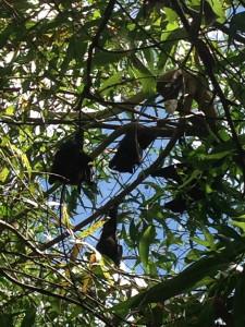 Pipistrelli giganti!